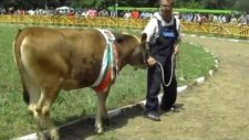 Awarded cattle breeds of the National Livestock ShowBulgarian Rhodope cattle breed
