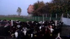 Adana halep keçisi