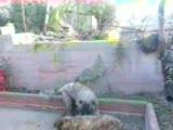 ovcharka kafkas çoban köpeği