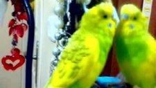 Papağana Özenen Muhabbet Kuşu