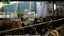101hayvan ahırı hayvan çifligi hayvancılık serinletme