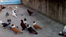 Diyarbakır isimli GüvercinKüme Video 10