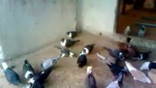 Diyarbakır isimli GüvercinKüme Video 13
