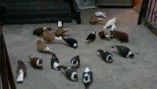 Diyarbakır isimli GüvercinKüme Video 14