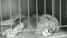 Charlie Chaplin aslan 4
