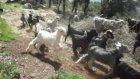 Oğlaklar Annesiyle buluşuyor-Bekirağalar Köyü-Sütçüler-Isparta