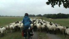 Bisikletle Dünya Turu, 2008, Almanya, bisiklet yolunda koyun sürüsü