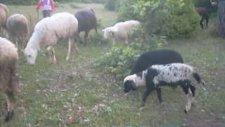 Gördes kıranköy'ün küçük çobanı