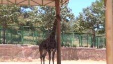 Zürafa Şakire Eş Bulundu