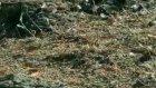 Ekili Arazileri Çekirgeler Bastı