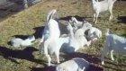 Keçi Yavrusu Tıklanma Rekoru Kırıyor