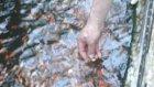 japon balığı üretim