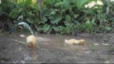 su birikintisinde oyun oynayan ördekler