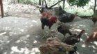 osmaniye bahçe Hint horozu  ve civcivleri.