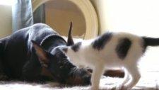 yavru kedi ile doberman