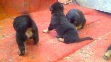 akcalar kopek ciftliği  rottweiler yavrulari
