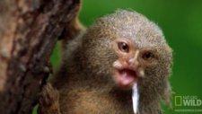 Dünyanın En Küçük Maymunu