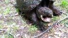 Agresif kaplumbağa