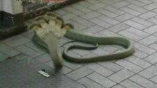 5 Kafalı Kobra Yılanı Göreni Şok Ediyor