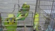 Eş Tutmuş Damızlık Muhabbet Kuşları-2