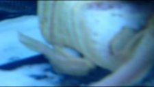 Yumurtlamak Üzere Olan Kırmızı Gözlü Gold Vatoz