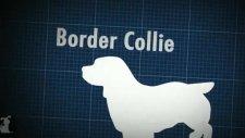 Border Collie Dog Guide - Doglopedia