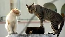 Gerçek Kedi Kavgası (HD Quality)