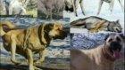 Aksaray Çoban Köpekleri