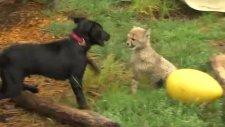 Çita Ve Köpeğin Oyunu