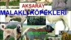 Aksaray Malaklı Çoban Köpekleri