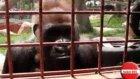 Goril Kafesindeki Davetsiz Misafir