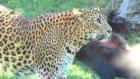 Leoparın panterle savaşı