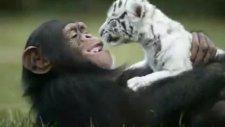 Şempanze ve Kaplanın Arkadaşlığı