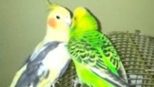 Muhabbet Kuşu İle Sultan Papağanı