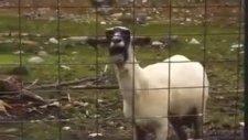 Soykırımını Gören Koyun Çıldırdı