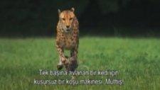 Çita`nın yavaş çekim koşusu