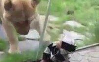 Aslan çocuğu zebra sandı! Yemeye çalıştı!