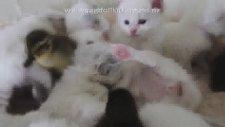 Kedi ve ördekler anasınıfında