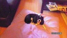 Şirin Köpek Lily
