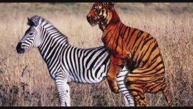 Zebra ile Kaplan çiftleşirse..?