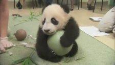Şirin Panda Yavrusu