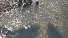 Güvercin Avlayan Kedi Balığı!