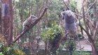 Anne Koala Bebeğini Kurtarıyor!