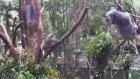 Yavru Koala'ya Yardım Eden Anne