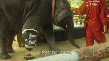 Fil Protez İle Yürüyor