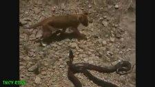 Piton ve Aslanın İnanılmaz Savaşı !