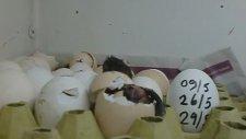 Civcivin Yumurtadan Çıkışı 3