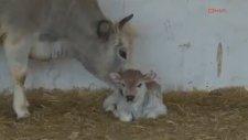 Türkiye'nin ilk klon inekleri anne oldu
