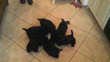 Daire Oluşturan Sevimli Köpek Yavruları