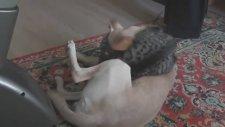Tembel Köpek Haylaz Kedi